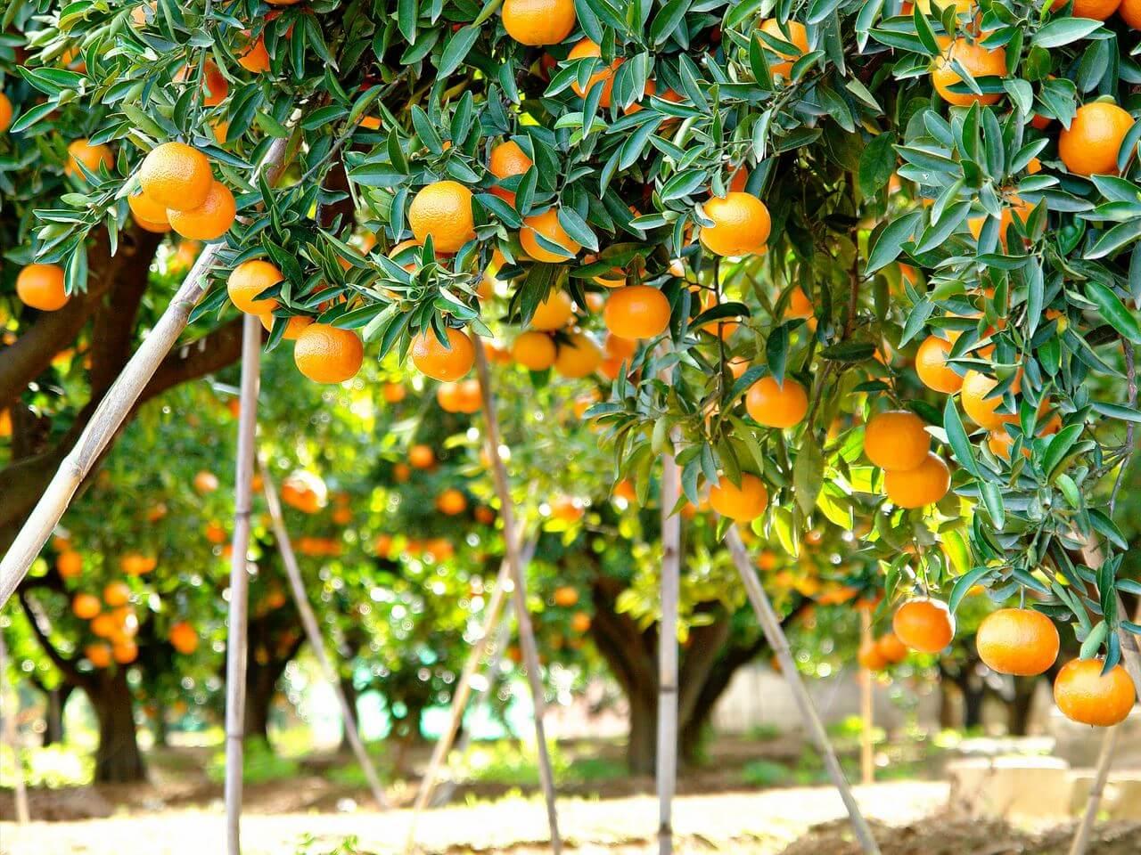 Апельсиновые сады картинки